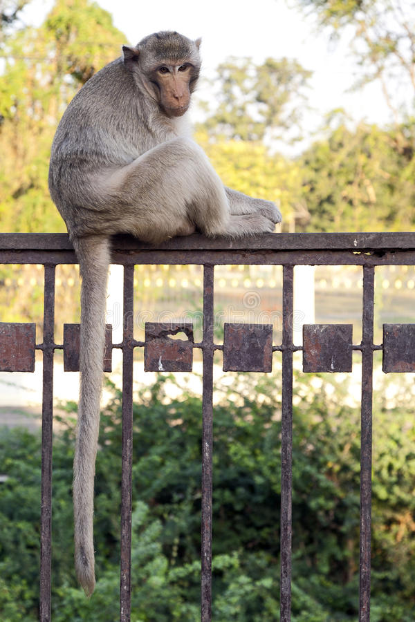 Download Monkey Sitting on Fence stock photo. Image of peace, long - 24153236