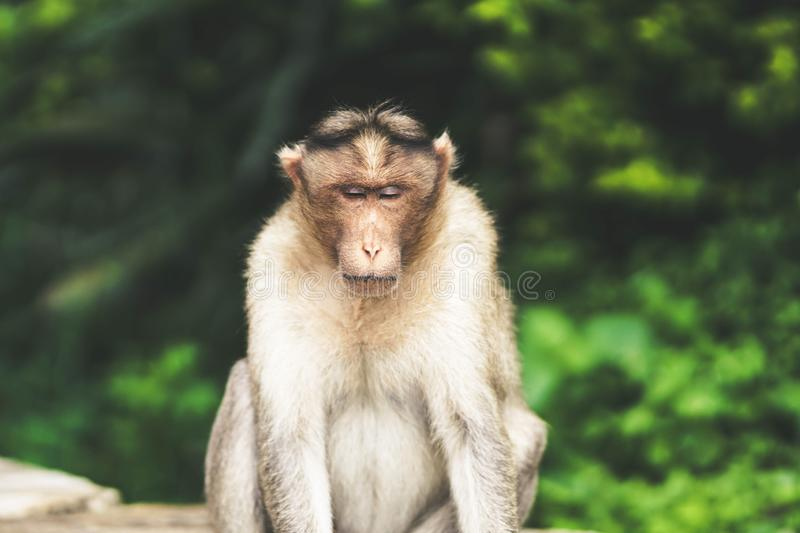 Monkey sitting in the forest royalty free stock images
