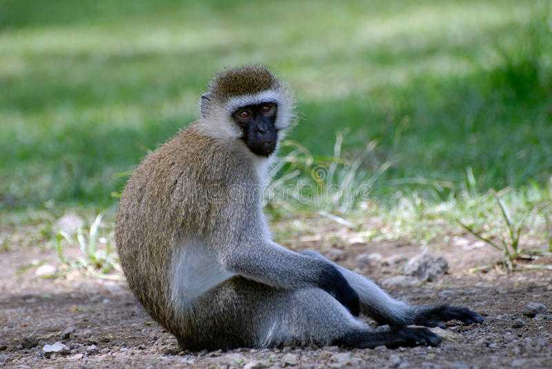 Monkey sitting on the ground and looking at the photographer in the reserve Masai Mara Kenya. Africa stock photos