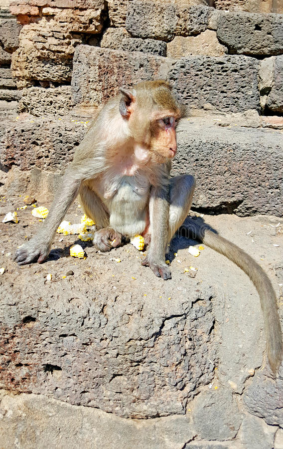 Monkey sitting on the ground in Thailand. Monkey sitting on the ground at temple in Thailand royalty free stock images