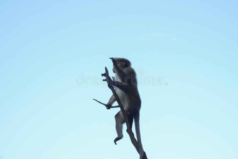 Monkey sitting on a lonely branch staring into the distance stock images