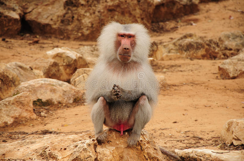 Monkey Sitting On Rock And Staring Stock Photo