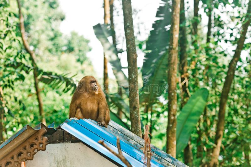 Monkey sitting on the roof of a hut in Thailand stock photo