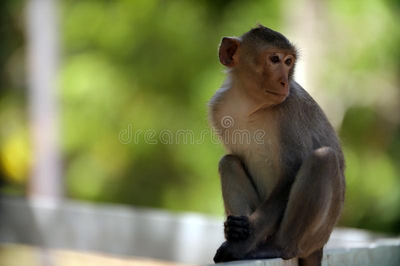 The monkey is sitting on the side of the fence. In the garden stock photos