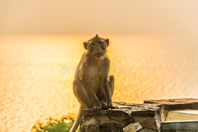 A monkey is sitting on the stone pillar. A monkey sits on a stone pillar with lonely temper at the seashore , during sunset time and the sunlight refect with stock images