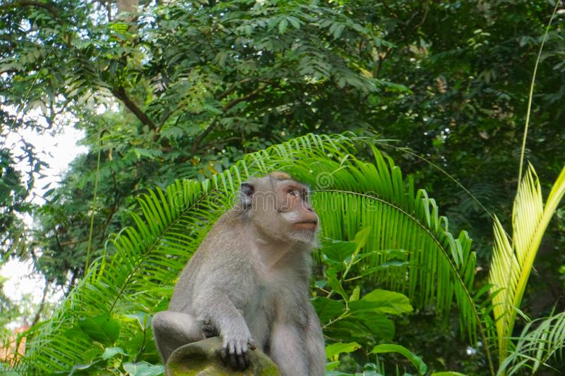 Monkey sitting on a stone sculpture at sacred monkey forest in Ubud, island Bali, Indonesia royalty free stock photography