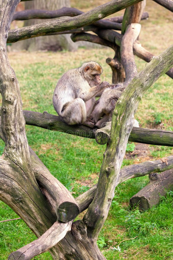 Monkey sitting on a tree. Green grass stock images