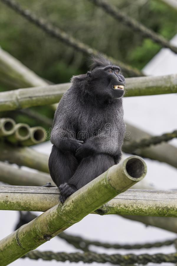 Monkey sitting on the tree and smiling. Into the camera royalty free stock image
