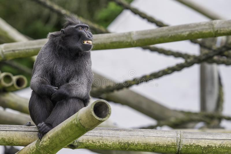 Monkey sitting on the tree and smiling. Into the camera royalty free stock images