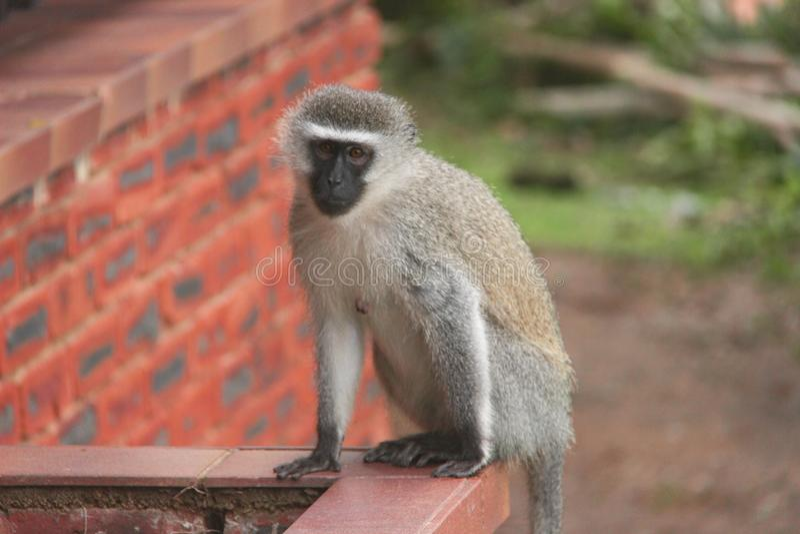 Monkey 2 stock image