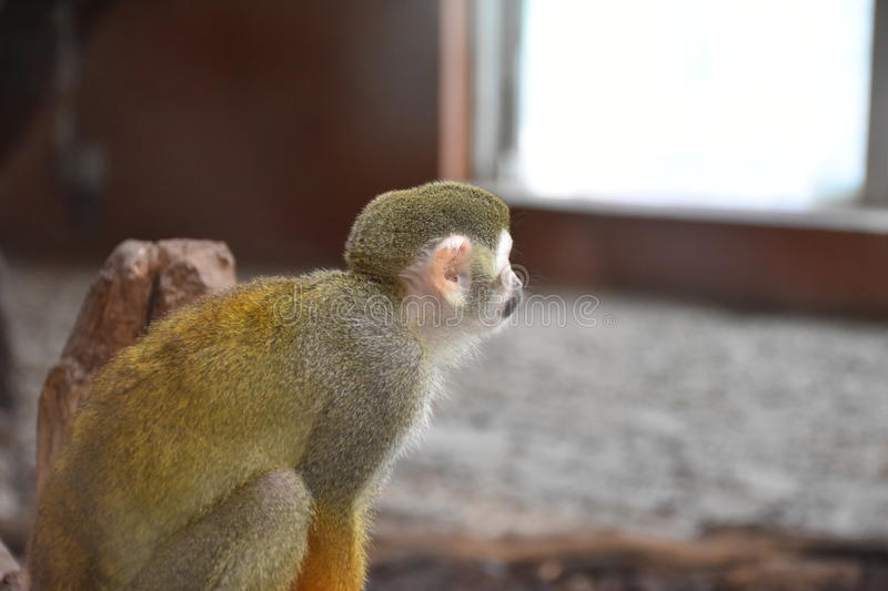 Monkey. Skeleton-headed Monkey, He lives in South America. It`s got its name because of its head and face similar to the skull of the skull. Monkey species is stock photo
