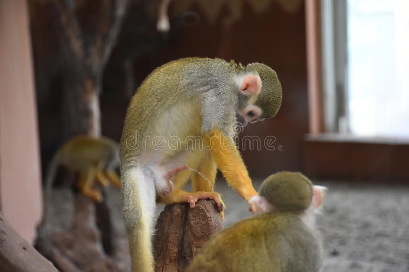 Monkey. Skeleton-headed Monkey, He lives in South America. It`s got its name because of its head and face similar to the skull of the skull. Monkey species is royalty free stock photo