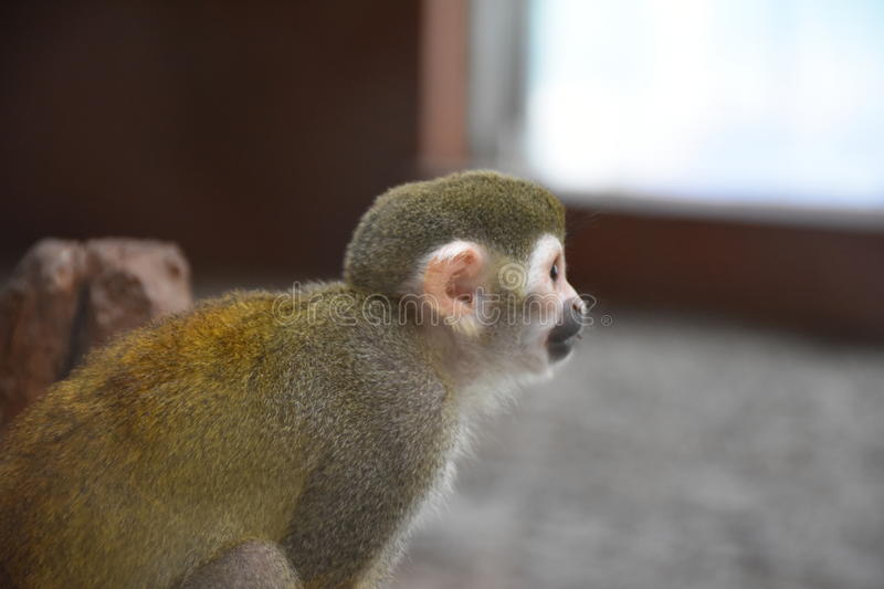 Monkey. Skeleton-headed Monkey, He lives in South America. It`s got its name because of its head and face similar to the skull of the skull. Monkey species is stock photos