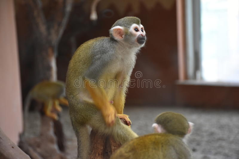 Monkey. Skeleton-headed Monkey, He lives in South America. It`s got its name because of its head and face similar to the skull of the skull. Monkey species is royalty free stock images