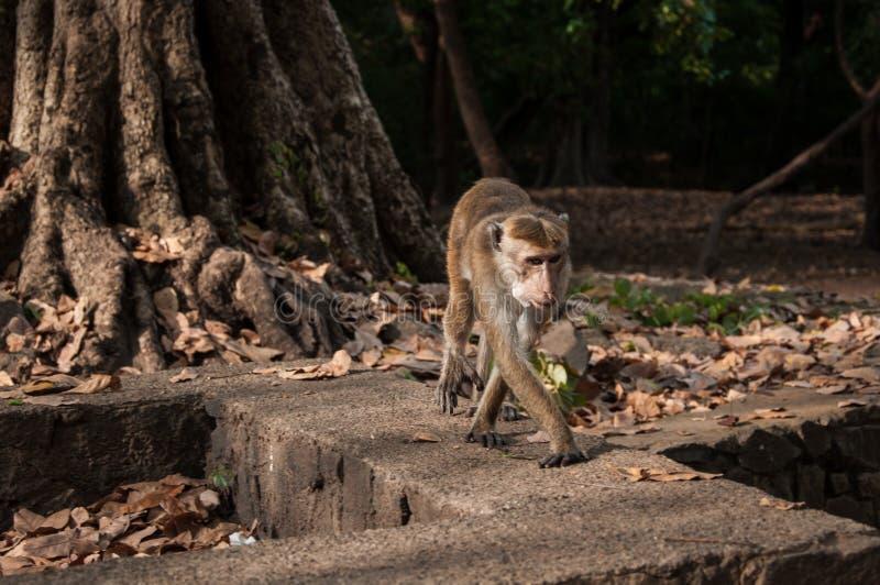 Monkey in Sri Lanka royalty free stock photo