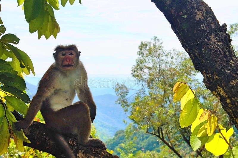 Monkey in Sri Lanka royalty free stock images