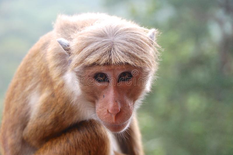 Monkey in Sri Lanka. A Toque Macaque monkey, head and upper part of body, looking directly at the camera. Green backdrop royalty free stock photo