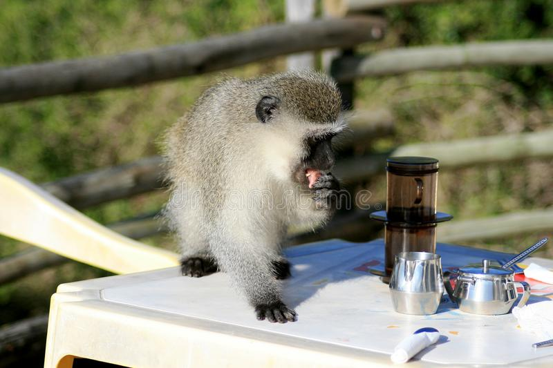Download Monkey stealing food stock photo. Image of sneaky, shop - 5715298