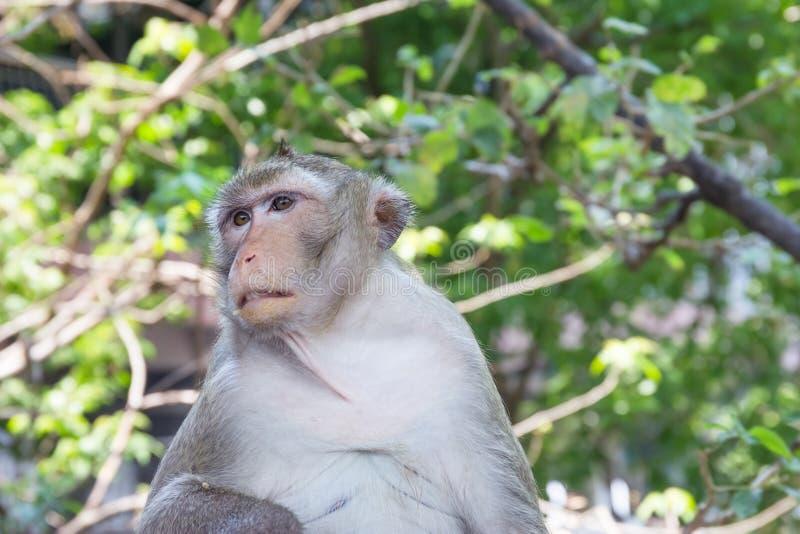 Monkey sur l'arbre en nature, Thaïlande image libre de droits
