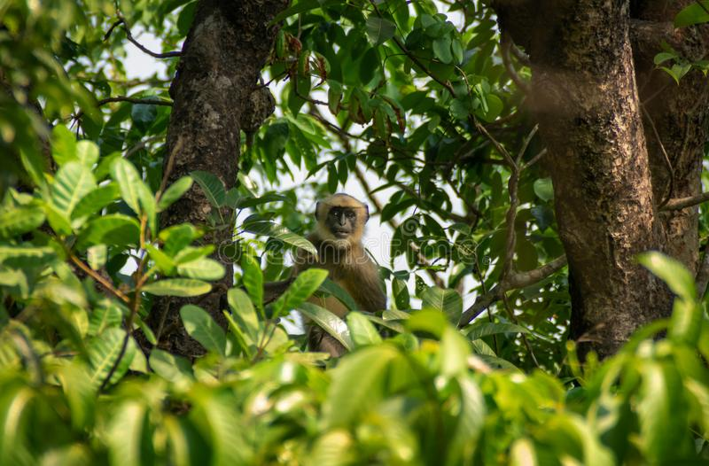 Monkey sur un arbre observant à l'appareil-photo images libres de droits