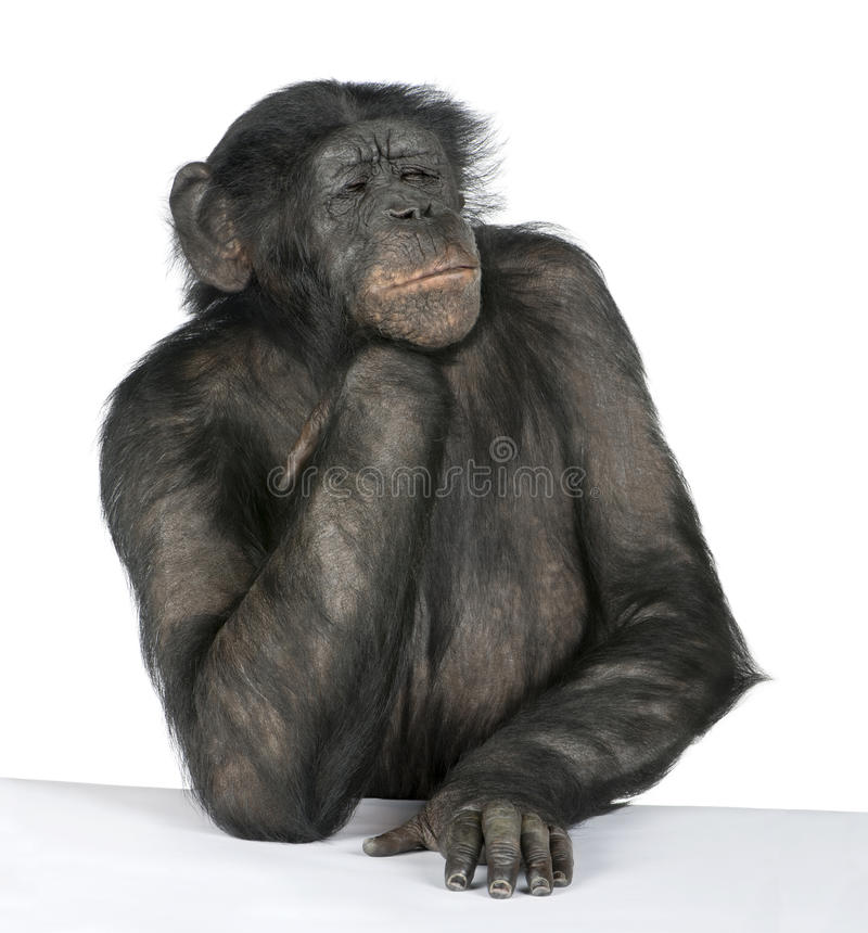 Download Monkey At A Table Stock Images - Image: 10349874