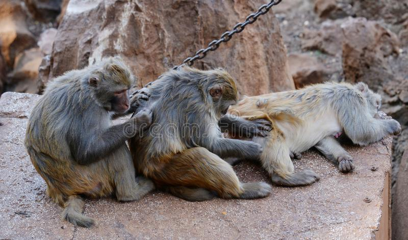Monkey teamwork. Look sitting animal monkey nature fur macaque eyes wild family asia mischievous cute mammals furry wildlife primate teamwork stock image