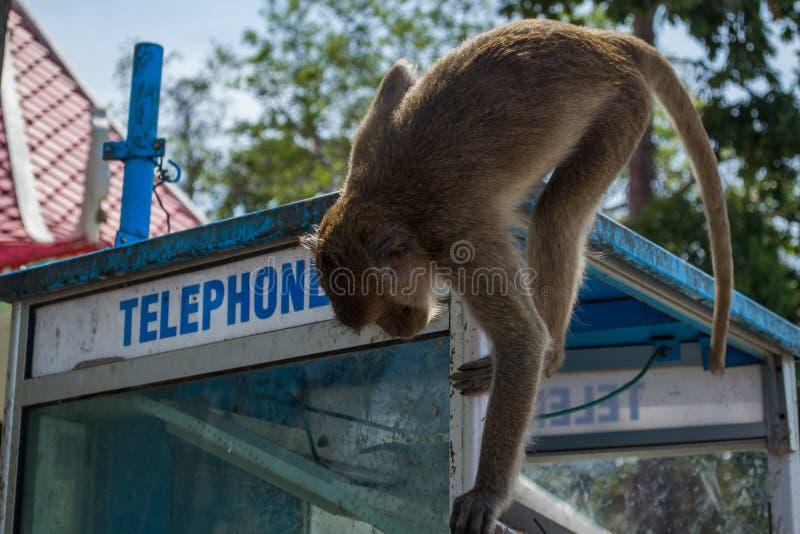 Monkey on telephone box stock photography