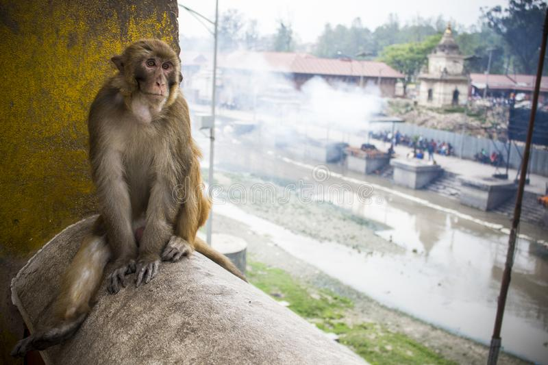 Monkey at Temple Pashupatinath, Kathmandu, Nepal royalty free stock photography