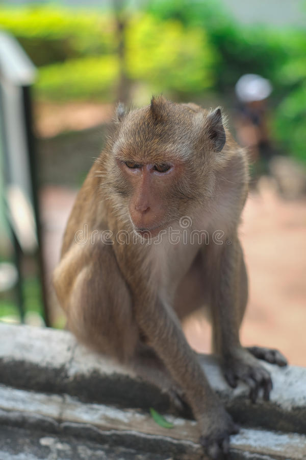 Monkey. In thailand looking for something royalty free stock photos