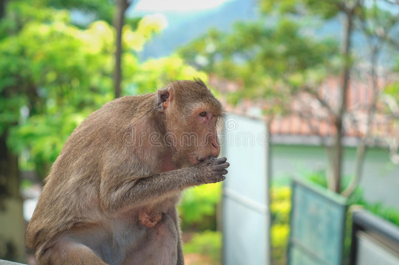 Monkey. In thailand looking for something stock photo