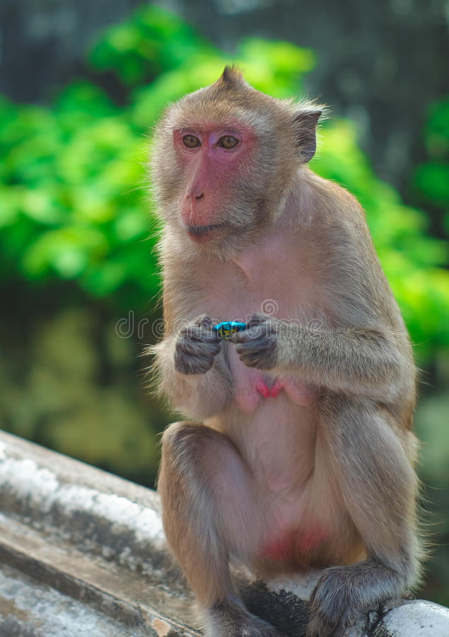Monkey. In thailand looking for something stock image