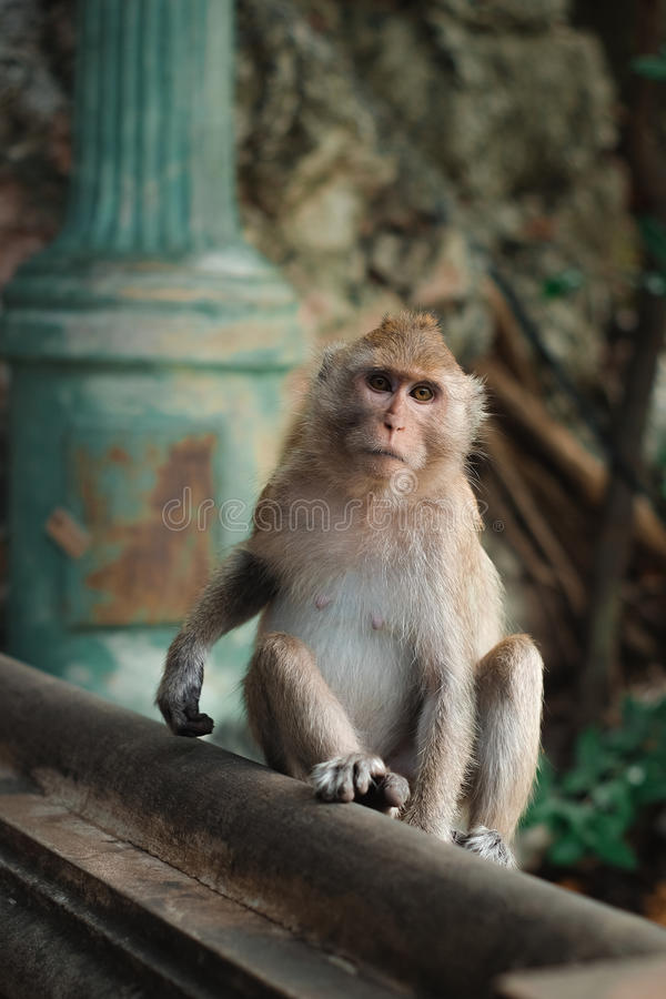 Monkey. In thailand looking for something royalty free stock image