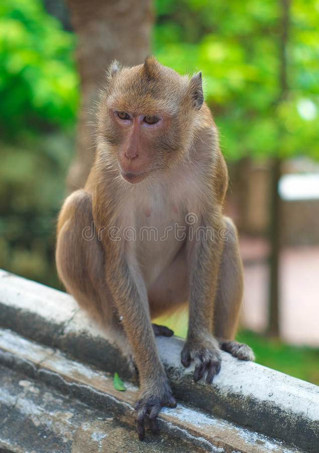 Monkey. In thailand looking for something royalty free stock images