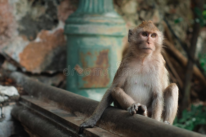 Monkey. In thailand looking for something royalty free stock photo