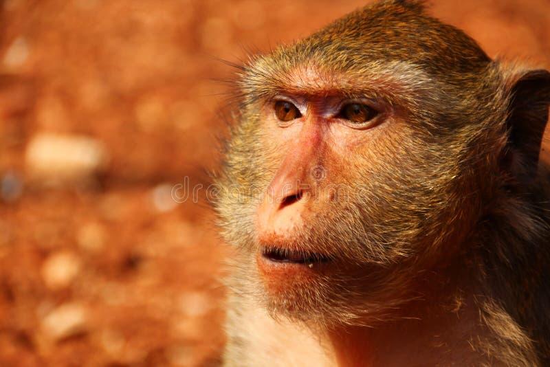 Monkey in Thailand stock photos