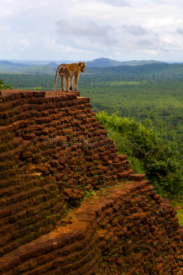 Monkey. On the top on the background of the jungle stock images