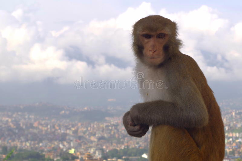 Monkey at the top. A monkey captured at the top of the hill of Swayambhunath Temple, Kathmandu stock photo