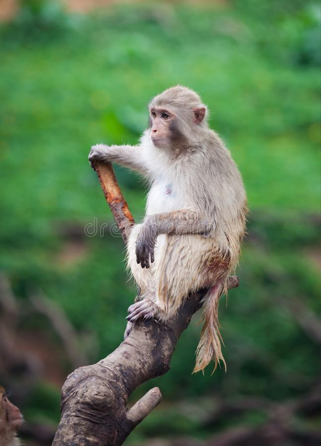 Funny baboon monkey. A Funny baboon monkey focus at something stock images
