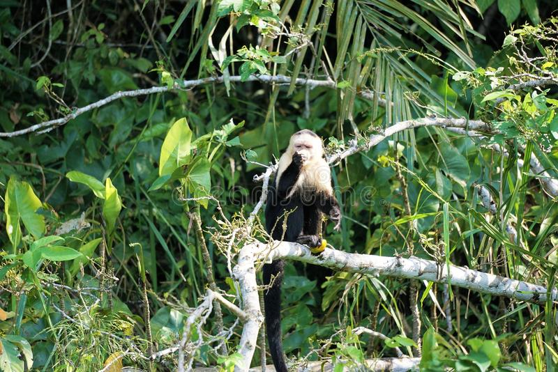 Monkey in a tree. Capuchin monkey sits on a bare tree branch while figuring out how to open fruit to eat stock photos