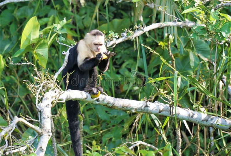 Monkey in a tree. Capuchin monkey sits on a bare tree branch while figuring out how to open fruit to eat royalty free stock photo