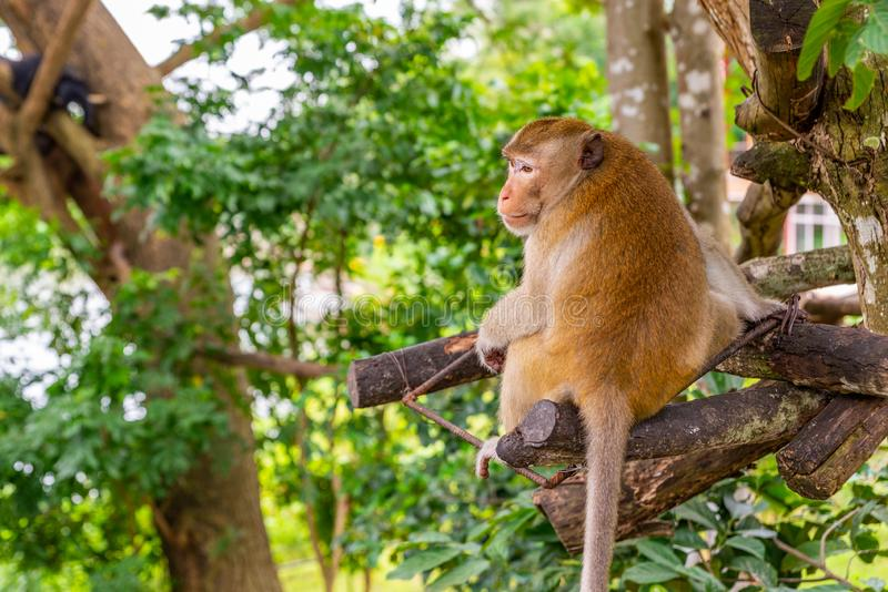 Monkey on tree in an open zoo of Thailand. Back side of monkey on tree in an open zoo of Thailand. Monkey turn his head to look at back side stock photo