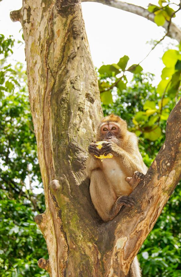 Monkey on the tree. Photos of monkeys sitting on a branch, one o royalty free stock photography