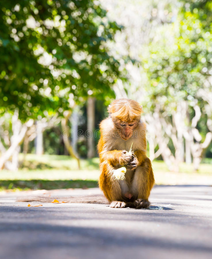 Monkey in tropical fauna on Ceylon, young macaque. Widlife scene, Asia stock photo