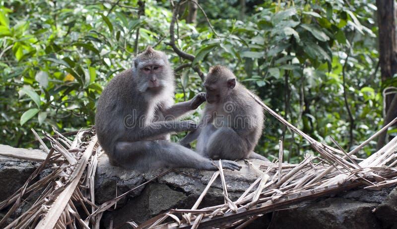 Monkey ubud. Moneky in monkey forest Ubdus Indonesia stock photography