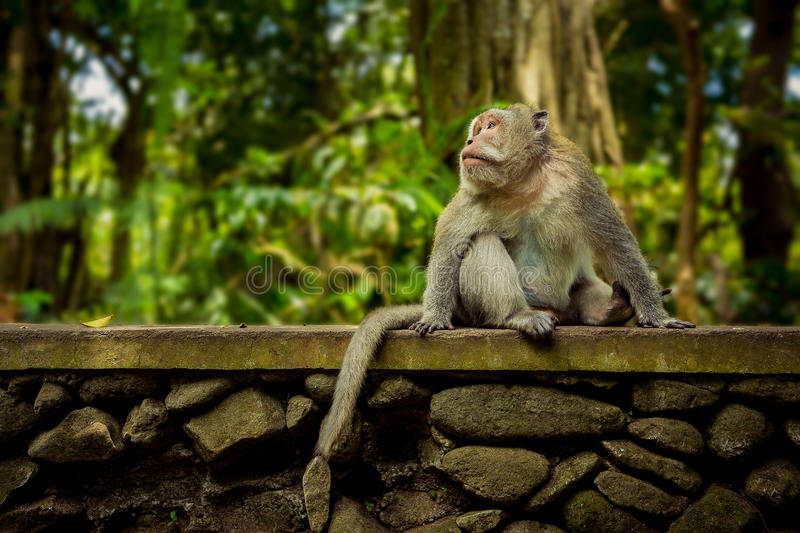 Monkey in Ubud Bali stock image