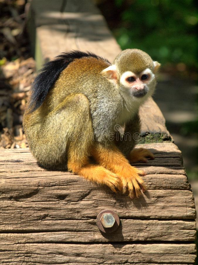 Monkey in the UK zoo royalty free stock image