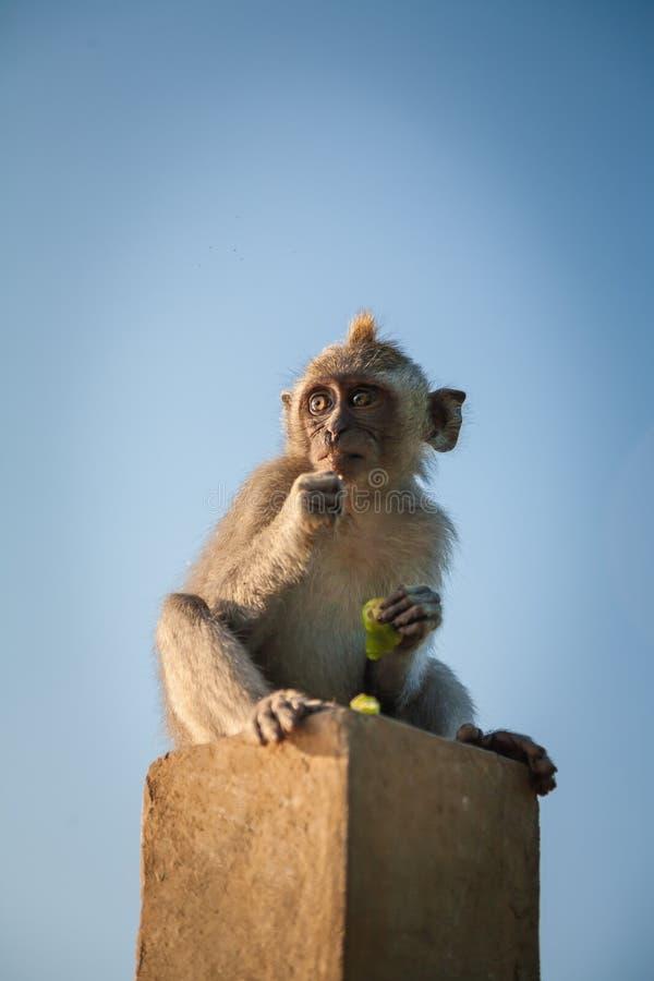 Monkey at Uluwatu, Bali, Indonesia royalty free stock images