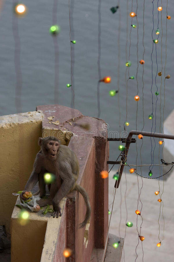 Monkey. Varanasi - India - monkey thief on roof royalty free stock photo