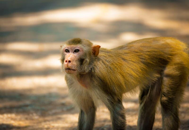 Monkey walking stock images