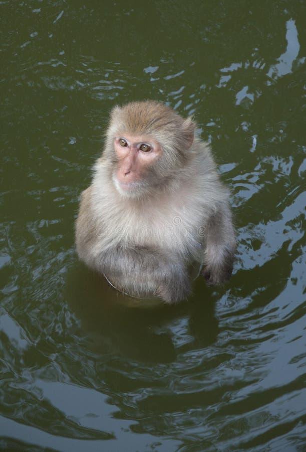 Monkey in the water. Chimelong safari park,guangzhou china stock image
